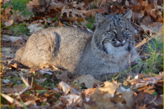Loudon Bobcat